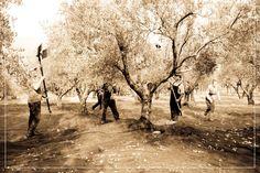 Eliris Extra Virgin Olive Oil Greece – Extraordinary premium Greek organic extra virgin olive oil from Efthimiadi Estate, Greece Harvest 2016, Olive Oil, Greece, Organic, Greece Country