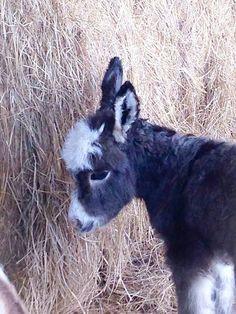 Courtesy: Satroma Ranch Miniature Donkeys, Texas (USA).