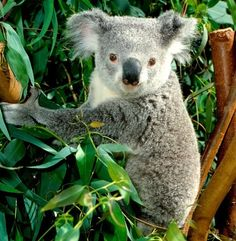 The Koala, (Phascolarctos cinereus), inhabits open Eucalyptus woodlands in the Eastern states and South Australia.  Koalas are related to wombats.  They eat the leaves of Eucalyptus trees.  Generally docile creatures, the males will compete aggressively for females.