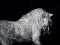 Arabian Horse - cavalo, horse