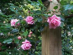 I have been reading the antique rose forum obsessively since I got interested in roses a year ago, and this is my first post :) I have lived in my house for almost 10 years, and have finally decided that it's time for the non-blooming rose climbing up the side of the house to go. It's a shame: the m...