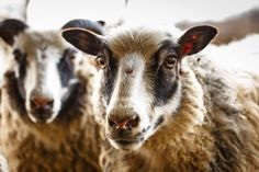 Daily Dose - April 16, 2016 - Sheepish - Icelandic Sheep 2016©Barbara O'Brien Photography