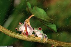 These amazing pictures show the tender moment a frog helped to shield its partner from the rain, by using a leaf as an umbrella. The human gesture between the red-eyed tree frogs was caught on camera by amateur photographer Kutub Uddin, Funny Frogs, Cute Frogs, Animals Beautiful, Cute Animals, Frog Pictures, Red Eyed Tree Frog, Delphine, Photography Competitions, Frog And Toad