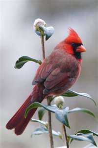 Cardinal...my favorite bird