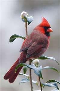 Female Cardinal...just beautiful                                                                                                                                                                                 More