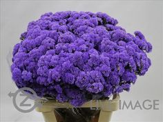 Today in the OZ Export webshop Specials: Statice Cloudy Blue, 55 cm, 60 gr, AA quality, x 25 st by Campania.