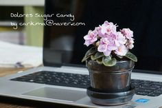 African Violet miniature - Dolores Sugar Candy   #Africanviolet  #Dolores_Sugar_Candy Saintpaulia, Sugar Candy, African Violet, Violets, Miniatures, Blue, Flowers, Minis, Pansies