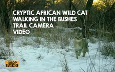 Super cryptic caught on trail camera walking around its territory on the Ile river bank. This animal looks like a domestic cat b. African Wild Cat, Trail Camera, River Bank, Domestic Cat, Cat Walk, My Animal, Wildlife, Pets, Videos