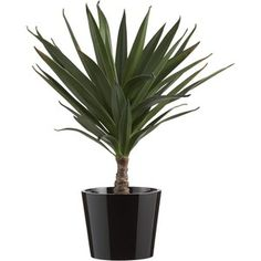 Crate & Barrel Potted Yucca Plant