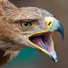 The Golden Eagle is one of the best known birds of prey in the Northern Hemisphere. Like all eagles, it belongs to the family Accipitridae. Pretty Birds, Love Birds, Beautiful Birds, Animals Beautiful, Golden Eagle, Big Bird, Birds Of Prey, Fauna, Bird Species