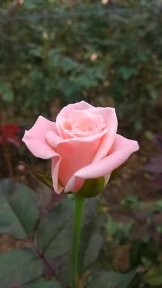A perfect pink rose- my favorite flower