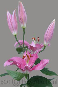 Name: Pink Expression #bot #flowerbulbs #lilium #flower #bulbs #bulbos #bulbosas #lirio #lirios #variedades #bubos #holanda #bloembollen #bloemen #bollen #bulbs #exporter #exporteur #floriculture #flowers #gladioli #gladiool #horticulture #iris #lelie #lily #preparation #prepareren #irissen #Andijk #collection #keurmerk #oriental #asiatic #la #ot #holland