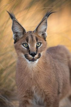 🔥 Regal-looking caracal 🔥 Small Wild Cats, Big Cats, Cats And Kittens, Caracal Caracal, Serval, Baby Caracal, Beautiful Cats, Animals Beautiful, Animals And Pets