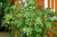 Abutilon plants look like dwarf flowering maple trees. Learn what they truly are and how to care for them (such as bringing them indoors for winter).