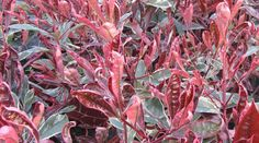 Photinia x fraseri Pink Marble = 'Cassini' - A recently introduced evergreen shrub, believed to be a sport of 'Red Robin' with outstanding variegation. The large, glossy leaves emerge flushed red/pink before turning green, cream and pink. Evergreen Shrubs, Trees And Shrubs, Shrubs For Sale, Plant Nursery, Plant Sale, Pink Marble, Green Cream, Red And Pink, Turning