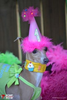 ROMP Italian Greyhound Rescue based in Chicago: Rescuing, Rehabbing and Rehoming otherwise discarded dogs since Contact us for more information. Happy Birthday Dog Meme, Dog Birthday, Italian Greyhound Rescue, Gotcha Day, Carnival Themes, Vintage Carnival, Fundraising, Hat Cake, Greyhounds