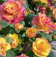 Primula 'Belarina 'Nectarine' (Belarina Series) (Primrose 'Belarina Nectarine') Get care advice to your inbox every month - add this plant to your personal list.
