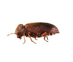 Woodworm are the larvae of Furniture Beetles - Its natural habitat is the broken branches of trees and areas where the tree bark has been removed.