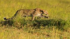 leopard hunting wallpaper download high resolution
