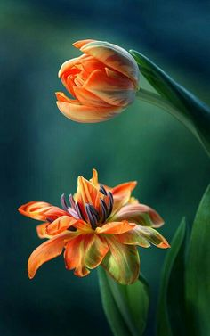 tulips, flowers, nature,lindas of Exotic Flowers, Amazing Flowers, My Flower, Beautiful Flowers, Arte Floral, Belle Photo, Trees To Plant, Planting Flowers, Tulips Flowers