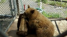 A three-legged black bear cub at Fund for Animals Wildlife Center plays with a donated bison hide. PHOTO: Fund for Animals Wildlife Center