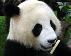 """What? Giant panda? I know, but it's true. In the wild, a mommy giant panda does much better investing her resources into raising only one baby, but she often bears two. Here we have what one naturalist refers to as """"quality control"""" — mom favors the stronger-seeming offspring, and leaves the weaker one to wither in the wild."""