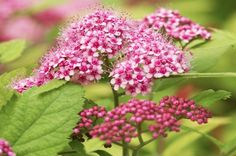 Spirea (Spiraea, Zones 3 to 8)  If you want an easy-to-grow shrub with exciting color, look for a spirea at the garden center. While they provide several seasons of interest, it's the summer blooms that are impressive. Sure, the individual flowers are tiny, but together they pack quite a punch. Spirea prefers full sun. It's important to find a cultivar that's right for your space—some grow only 18 inches tall, while others can get to be several feet.  Favorites: Many spirea blooms are white…