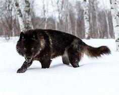 fekete farkas