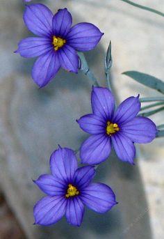 Sisyrinchium bellum Blue-Eyed Grass- My fave wildflower, it's tattooed on my arm :)  Now where to plant it.........