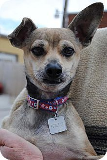 Columbia, TN - Chihuahua Mix. Meet Gremlin, a dog for adoption. http://www.adoptapet.com/pet/9559862-columbia-tennessee-chihuahua-mix