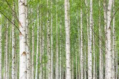 White Birch Forest - Wall Mural & Photo Wallpaper - Photowall