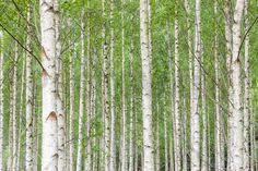 White Birch Forest - Fototapeter & Tapeter - Photowall