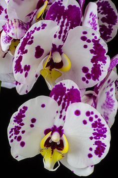 Purple And White Orchids - Artist: Garry Gay
