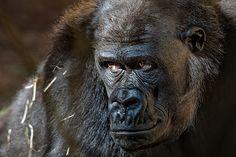 by Juan Jose Herrero Garcia / Especie Animal, Photography, Animals, Monkeys, Parks, Naturaleza, Photograph, Animales, Animaux