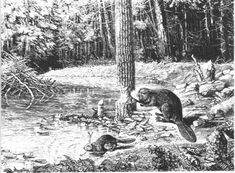 North American beaver was depleted by the beaver fur trade, engaged in to supply Europeans with beaver top hats.