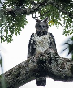 """Animals on """"The harpy eagle is the largest eagle in the world. It's 1 metre tall & has a 2 metre wingspan! (Photo: Leon Moore)""""""""The harpy eagle is the largest eagle in the world. It's 1 metre tall & has a 2 metre wingspan! Unusual Animals, Rare Animals, Animals And Pets, Funny Animals, Funny Birds, Artic Animals, Big Animals, Pretty Birds, Beautiful Birds"""