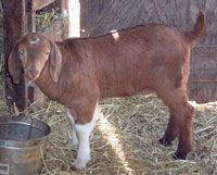 Goats might seem like an unexpected meat breed, but they can be profitable! Try these goat breeds: Boer (pictured), Kiko, Tennessee Meat, Genemaster, Texmaster, Savannah and Spanish. Photo courtesy Sara's Boer Goats Ranch