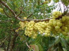 Otaheite gooseberry tree  --  Caribfruits - Surelle / Fruits des Antilles