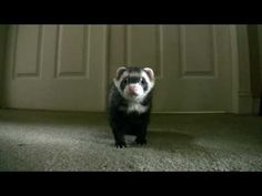 you have got to watch this ferret video its really cute..........enjoy:):):):)