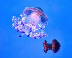 #jellyfish #blue