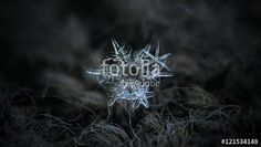 """Download the royalty-free photo """"Snowflakes glowing on dark gray wool background. This is macro photo of three stellar dendrite snow crystals in cluster, with ornate arms and sharp edges."""" created by Alexey Kljatov at the lowest price on Fotolia.com. Browse our cheap image bank online to find the perfect stock photo for your marketing projects!"""