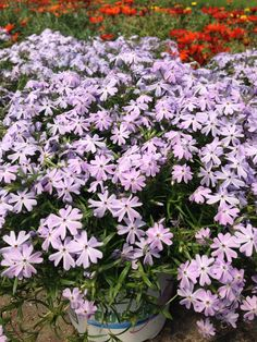 Creeping Phlox - Emerald Blue for early Spring