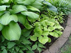 Hosta 'Guacamole', H. 'Frances Williams', and others.