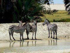 zebras in the water near Tarangire National Park #Tanzania #Africa #safari