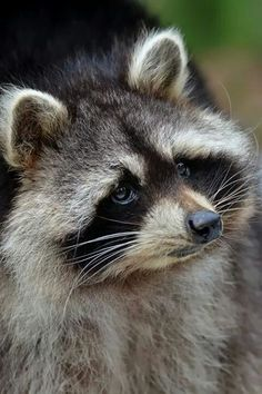 Raccoon at Clear Creek Road Rocky Raccoon, Pet Raccoon, Animals And Pets, Funny Animals, Cute Animals, Strange Animals, Forest Animals, Pet Birds, Animals Beautiful