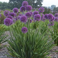 Allium Lavender Bubbles PPAF Common Name Ornamental Onion Zones 48 Height 1214 Spread 2022 Garden Style Patio Container Eclectic Modern Rock Garden Other Features B Flores Allium, Allium Flowers, Tall Flowers, Purple Flowers, Lavender Garden, Purple Garden, Planting Lavender, Modern Landscaping, Front Yard Landscaping