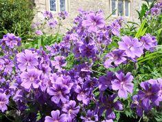 A mass of purple flowers in June