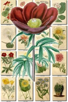 FLOWERS-68 Collection of 252 vintage images Begonia Maxillaria