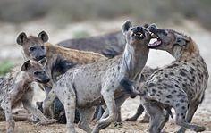 hyena - Поиск в Google