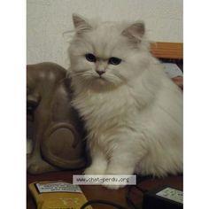 "248733 Chat perdu ""khaleesi"" Perdu chat, blanc, femelle, poils longs, pelage uni, race Persan. Perdu le 09/06/2016 45260 NOYERS (FR)."